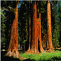 Recordings from the Redwoods